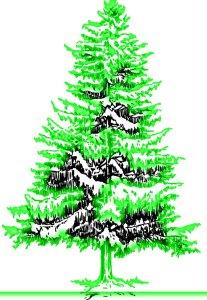 Glowing Douglas Spruce