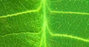 The Genuine Leaf was Inspiration for the Artificial Leaf, which generates Hydrogen and Oxygen Gases