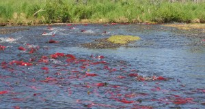 Elwha River residents haven't seen a salmon spawning run like this in over one hundred years.