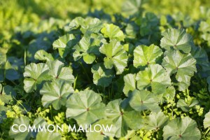 Common-Mallow-537x358