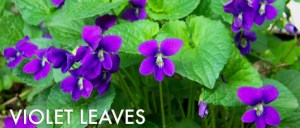 Wild-Violet-Leaves-537x229