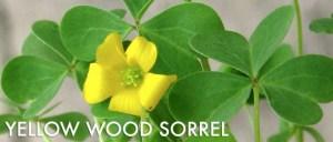 Yellow-Wood-Sorrel-Foraging-537x229