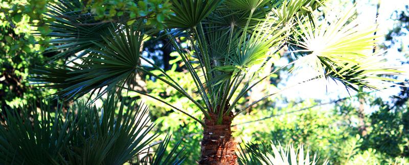 Green Parrot Gardens | Garden Renovation | Dwarf Palm Care