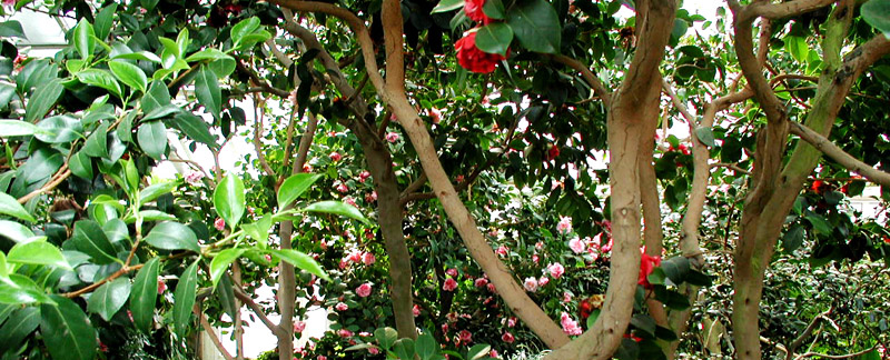 Green Parrot Gardens | Ask the Garden Consultants | Camellia Clean Up