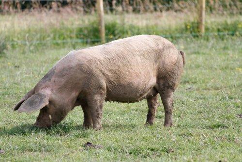 Half Organic Pig for sale