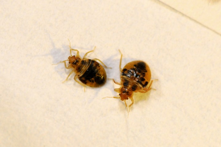 Small Brown Bugs In Bedroom Education Photography Com. Small Roaches In Bedroom   Scifihits com
