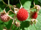 Thimbleberry Berry
