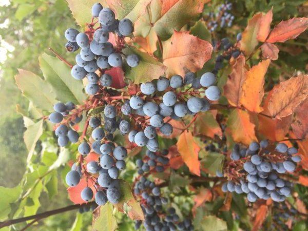 Oregon-Grape Berries