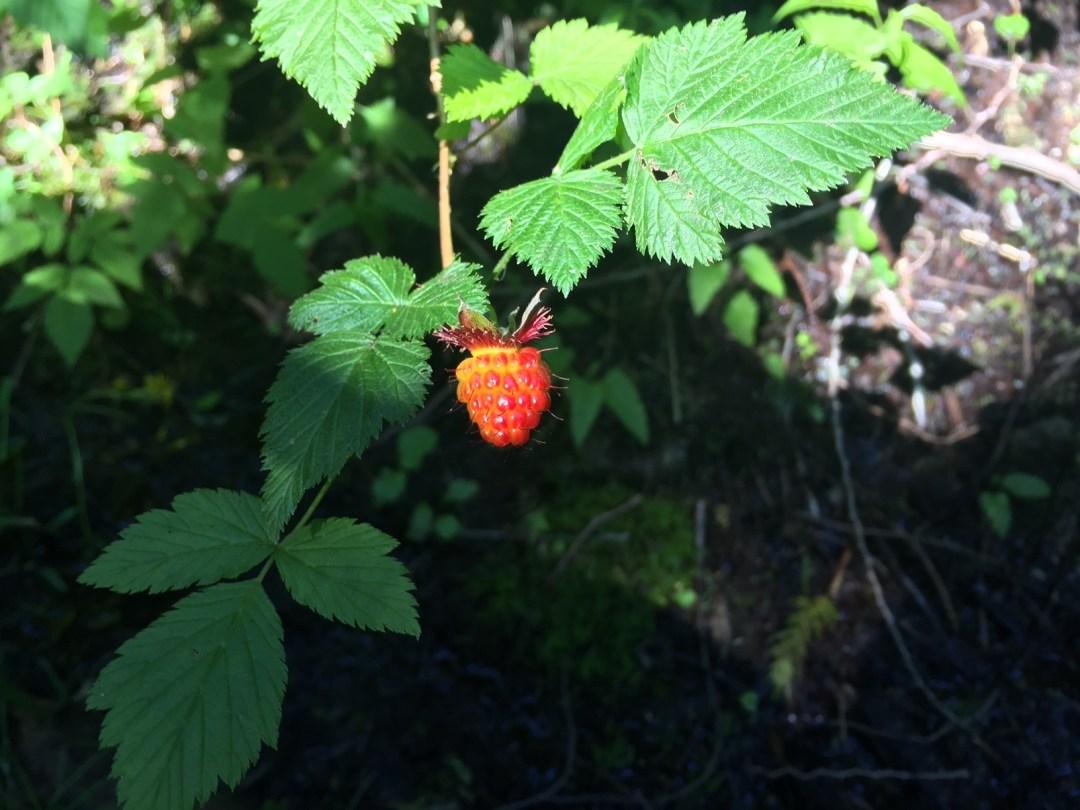 Salmonberry Berry