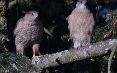 Cooper's Hawks in our Parks: Results from the 2017 Survey