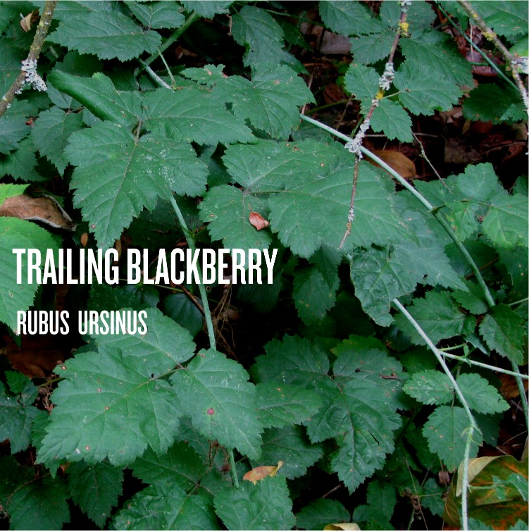 Trailing Blackberry