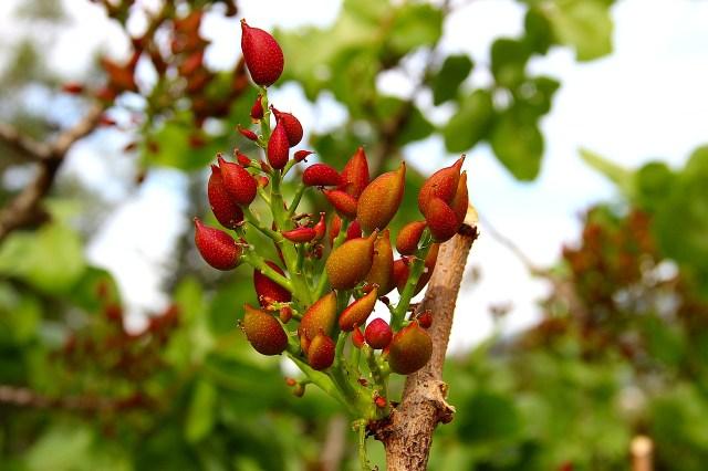 Könnte auf Ägina sein ... Ein Pistazienbaum mit noch jungen Früchten (Image by Alexander Hood from Pixabay).