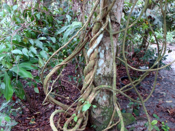 ayahuasca_vine_amazon_by_chris_kilham_625