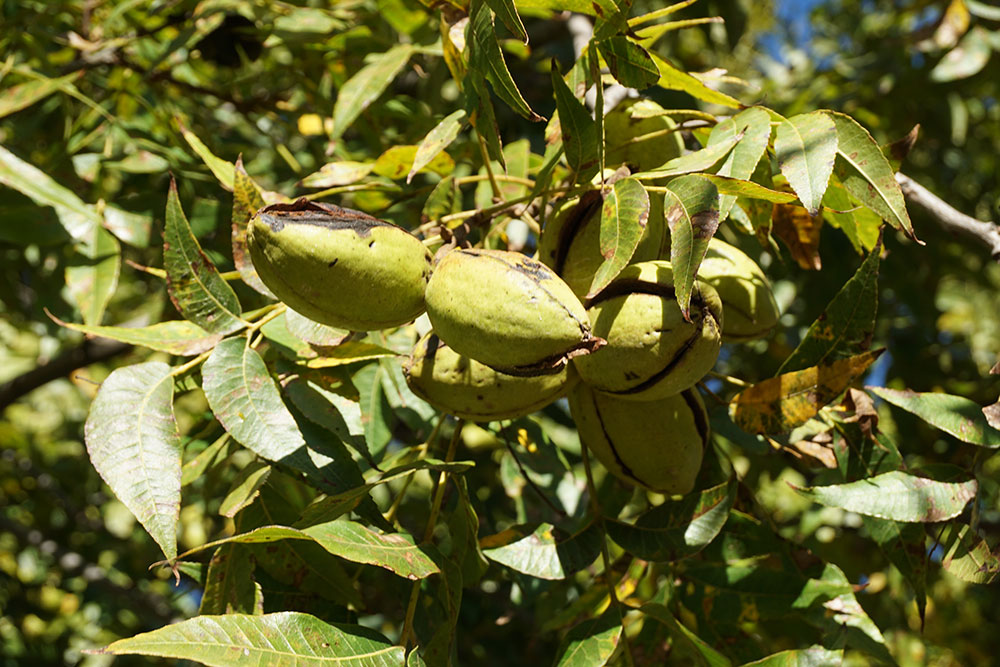 Green Valley Pecans Featured In Epcot International Festival