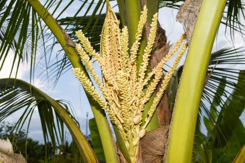 Fleur de coco