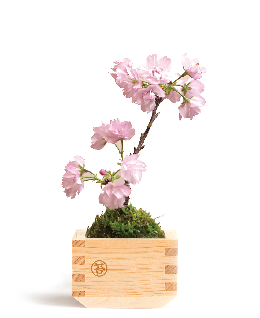 Masumoss - the new Japanese plant art from Green's Green