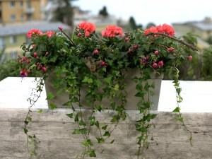 Balkonbak met Toscana geranium