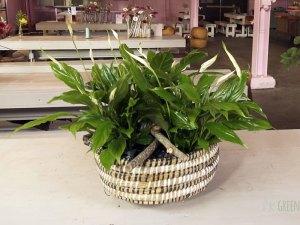 Tafelstuk met lepelplant