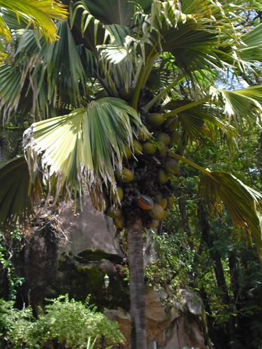 Coco-de-Mer Palm Tree Photo by Marek Gehrmann - The World's Largest Seed - Coco de Mer – Greetings from the Past