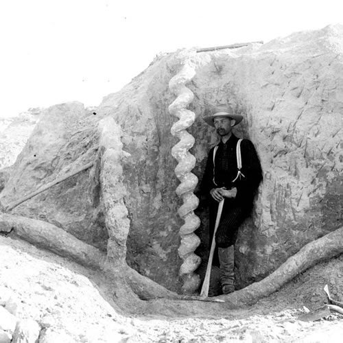 Frederick C. Kenyon with a Daemonelix, Devil's Corkscrew Photo owned by the University of Nebraska - Daemonelix - Devil's Corkscrews - Greetings from the Past