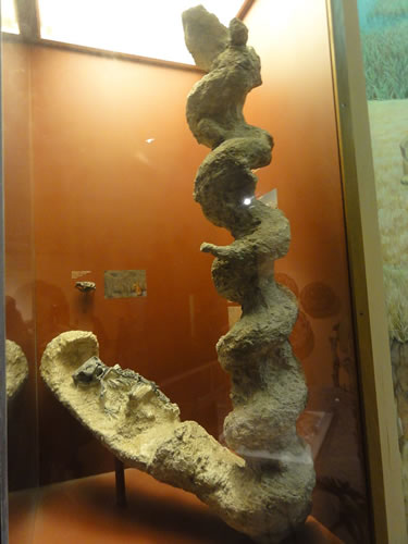 Palaeocastor and burrow in National Museum of Natural History - Daemonelix - Devil's Corkscrews - Greetings from the Past