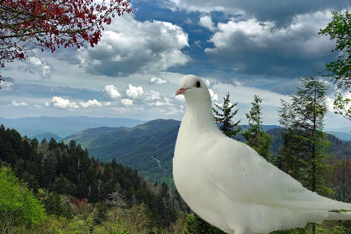 Homing Pigeons and the Great Smoky Mountains National Park