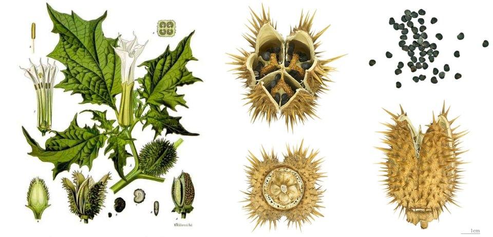 Datura_stramonium_-_Köhler–s_Medizinal-Pflanzen-051