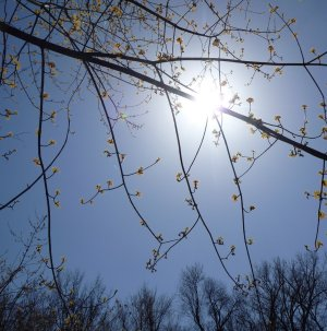 Sun through leafing out tree branches.