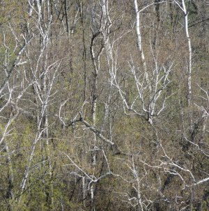 Birch tree branches and pale spring leavespale