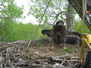 Eaglet on a nest near Prescott, WI on the Mississippi River