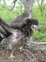 Eagle chick in a nest on the Mississippi River
