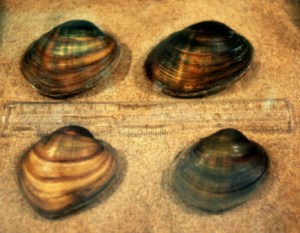 Endangered Higgins Eye Mussels (USFWS photo)