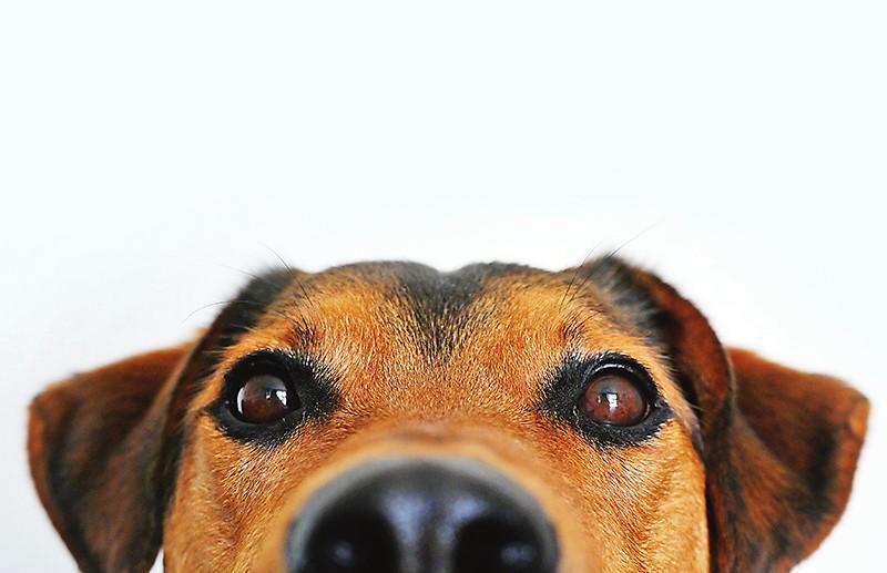 Gossos en restaurants: són realment un problema d'higiene?