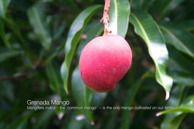 Mango-Grococo-