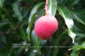 Mango-Grococo- (1)