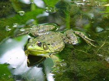 grenouille verte habitat