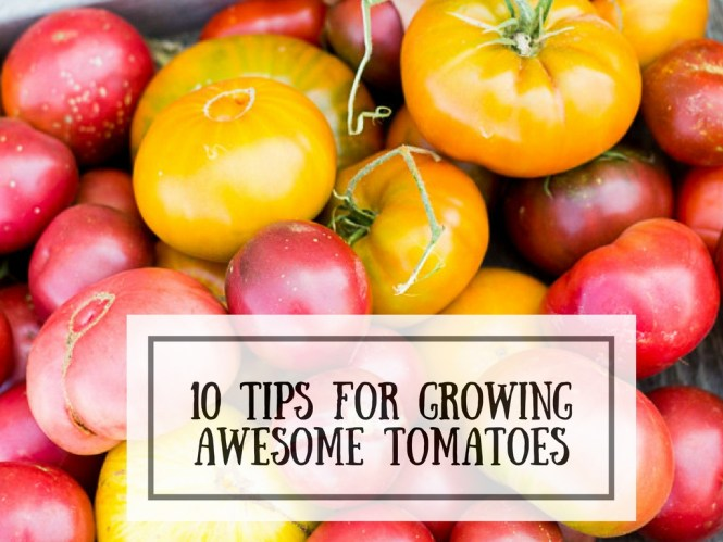 10 TIPS FOR GROWING AWESOME TOMATOES