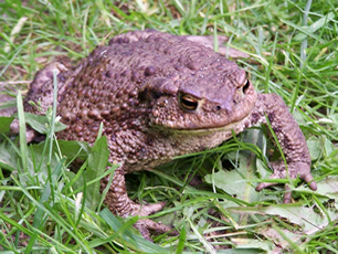 Mrs-Toad
