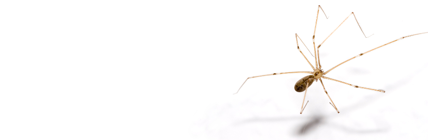 """Pholcus phalangioides,"" by Olaf Leillinger (CC BY-SA 3.0 via Wikimedia Commons."
