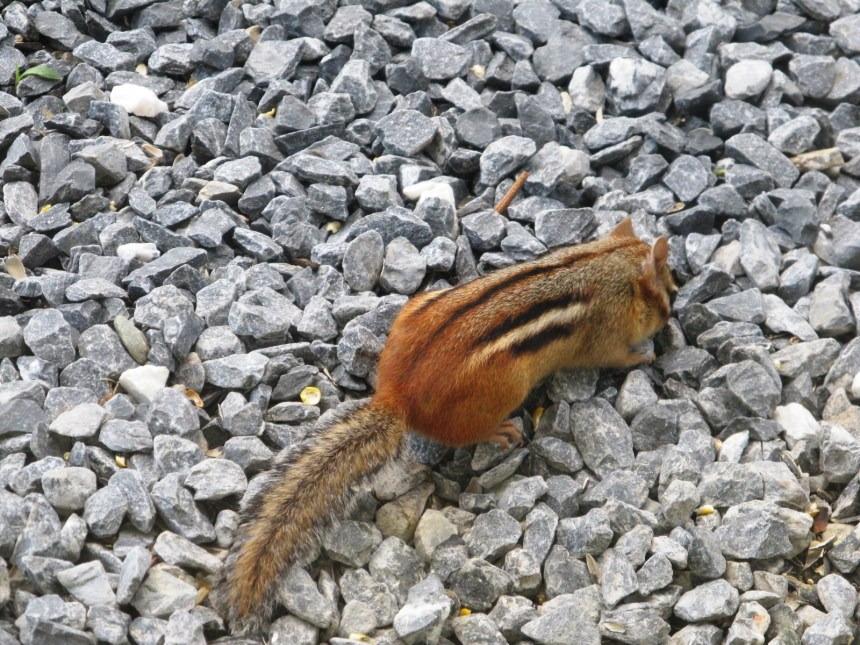 Chipmunk benefiting from messy eaters and gravity; photo by Sheila Velazquez.