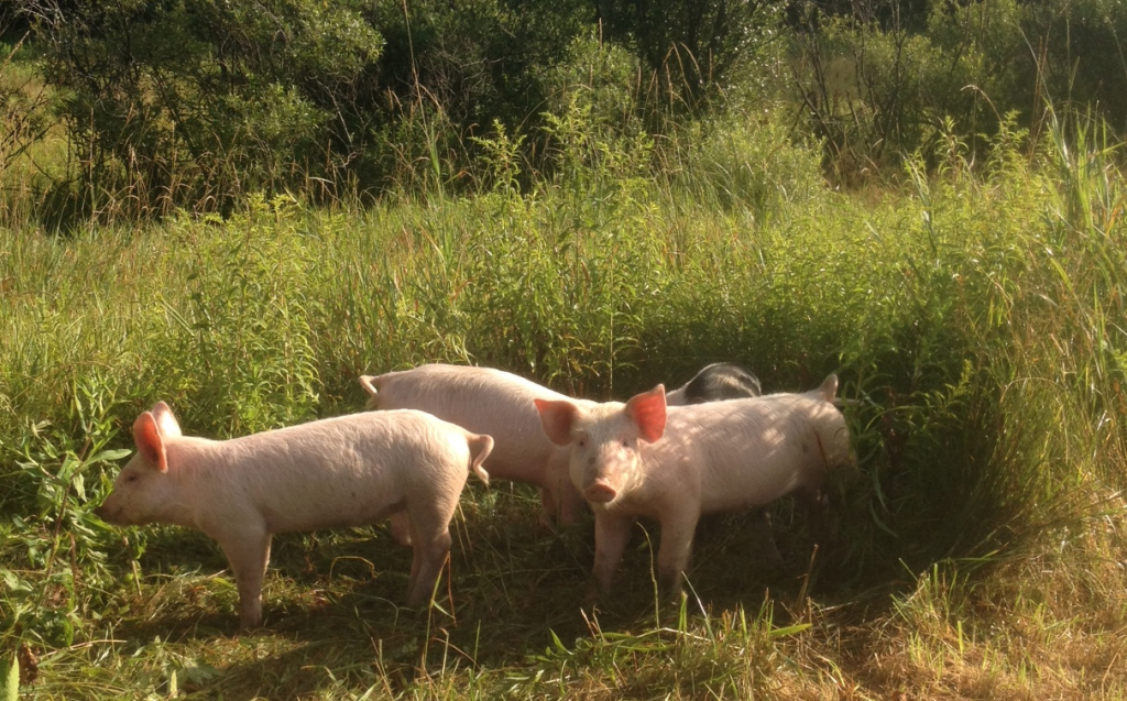 Your average pig tries to live a pretty clean life, and would likely avoid the Beltway if at all possible; photo by Jason Velázquez.
