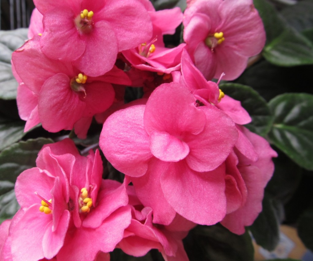 Pink African Violet with gold flecks; photo by Sheila Velazquez.