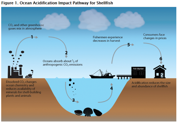 Illustration: This diagram shows the impact pathway of carbon dioxide emissions on the shellfish market.  Carbon dioxide is absorbed by oceans, resulting in ocean acidification. Acidification reduces the size and abundance of shellfish, which in turn leads to decreased harvest and eventually to changes in prices for consumers. Source: US EPA (2015). Climate Change in the United States: Benefits of Global Action