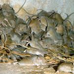 Mice overrun New South Wales, Australia