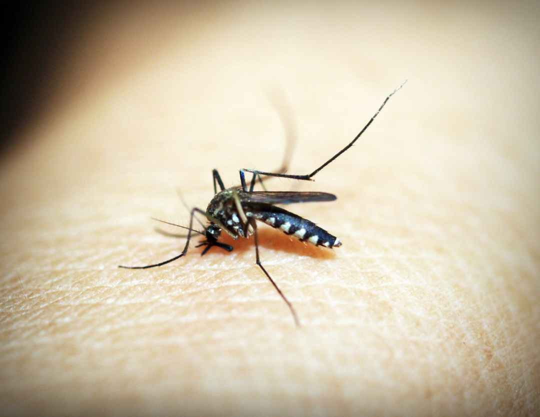 black mosquito on person s skin
