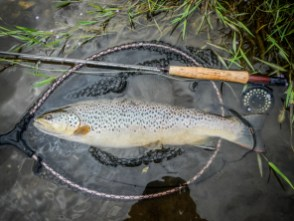 River Frome Brown Trout 4lb