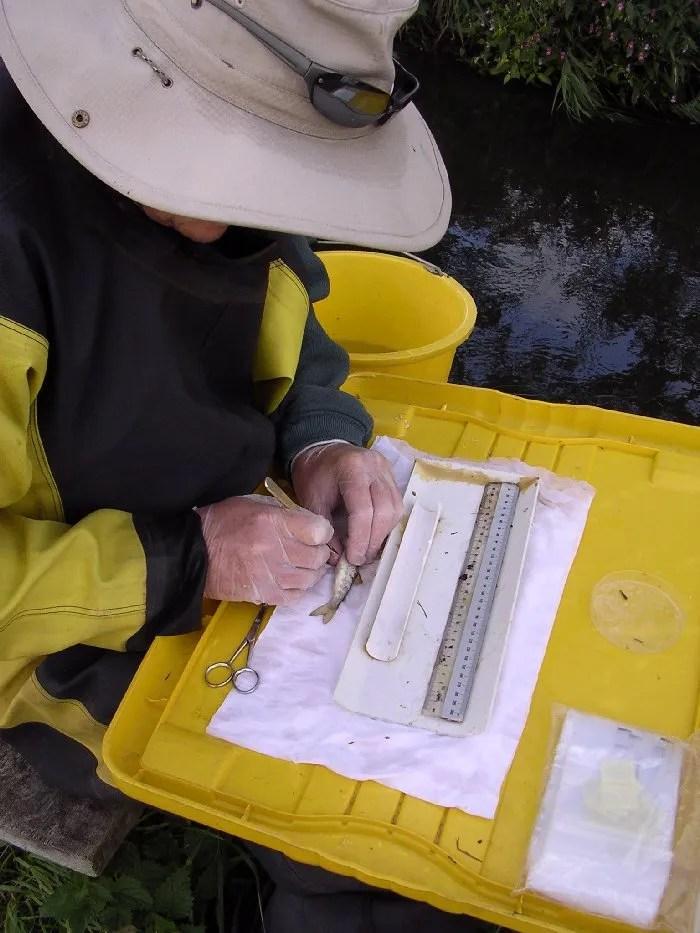 Salmon Parr Tagging