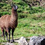 Ein Lama, eines der wenigen exotische Tiere im Wildpark