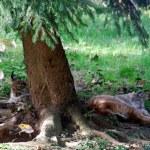 Zwei Luchse dösen unter einem Baum