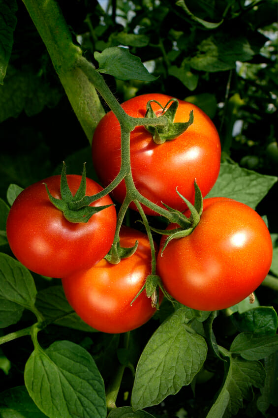 four ripe red tomatoes on a green vine